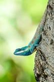 Blauw-kuifhagedis die neer uit een boom komen Stock Afbeelding