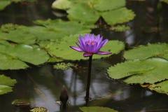 Blauw Lotus Stock Afbeelding