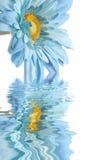 Blauw madeliefje met waterbezinning Stock Foto's