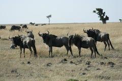 Blauw meest wildebeest of Getijgerd GNU Nyumbu stock afbeelding
