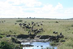Blauw meest wildebeest of Getijgerd GNU Nyumbu stock fotografie