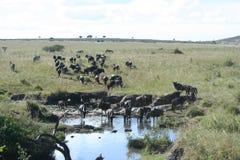 Blauw meest wildebeest of Getijgerd GNU Nyumbu royalty-vrije stock foto's