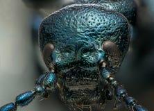 Blauw metaalinsecten macro hoofdschot Royalty-vrije Stock Afbeelding