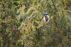 Blauw-onder ogen gezien Honeyeater Stock Afbeelding