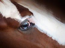 Blauw oog van Iers maïskolf of blikslagersclose-updetail royalty-vrije stock fotografie
