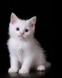 Blauw oog wit katje Stock Foto