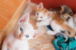 Blauw oogkatje Stock Fotografie