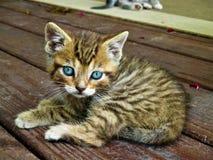 Blauw oogkatje die over het leven leren stock foto