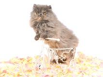 Blauw Perzisch katje Tortie op minifiets Stock Foto