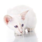 Blauw-punt siamese kat op wit Stock Foto