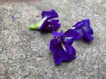 Blauw-purpere vlindererwt op cementvloer stock fotografie