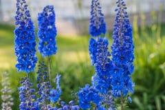 Blauw ridderspoor Royalty-vrije Stock Foto's