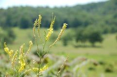 Blauw Ridge Appalachia - ragweed Royalty-vrije Stock Foto's