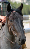 Blauw Roan Paard 1 stock fotografie