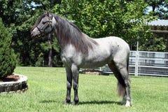 Blauw roan paard Stock Foto