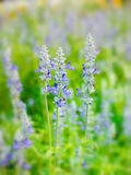 Blauw-Salvia Royalty-vrije Stock Afbeeldingen