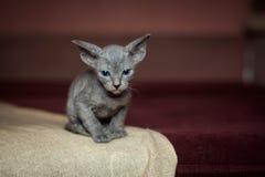 Blauw sphynxkatje op een rode achtergrond Stock Fotografie