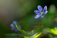 Blauw springflower het doorweken zonlicht Stock Afbeeldingen