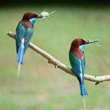 Blauw-Throated bij-Eter Stock Foto