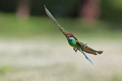 Blauw-Throated bij-Eter het vliegen Royalty-vrije Stock Fotografie