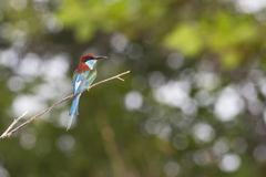 A blauw-Throated bij-Eter op een schone achtergrond Stock Foto