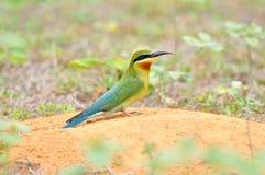 Blauw-Throated bij-Eter vogel Stock Afbeeldingen
