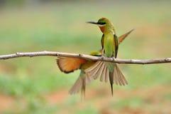 Blauw-Throated bij-Eter vogel Stock Afbeelding