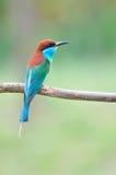 Blauw-Throated bij-Eter vogel Royalty-vrije Stock Afbeelding