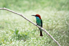 Blauw-Throated bij-Eter vogel Royalty-vrije Stock Fotografie
