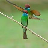 Blauw-Throated bij-Eter vogel Stock Foto