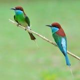 Blauw-Throated bij-Eter vogel Royalty-vrije Stock Foto's