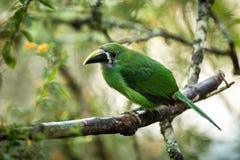 Blauw-Throated Toucanet, groene toekan in de aardhabitat, exotisch dier in tropisch bos, Colombia Het wildscène van aard stock foto