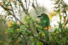 Blauw-Throated Toucanet, groene toekan in de aardhabitat, exotisch dier in tropisch bos, Colombia Het wildscène van aard stock foto's