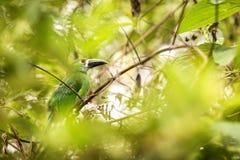 Blauw-Throated Toucanet, groene toekan in de aardhabitat, exotisch dier in tropisch bos, Colombia Het wildsc?ne van aard stock afbeelding