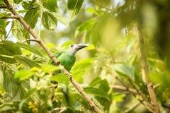 Blauw-Throated Toucanet, groene toekan in de aardhabitat, exotisch dier in tropisch bos, Colombia Het wildsc?ne van aard stock foto's