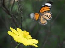 Blauw Tiger Butterfly in Kerala Royalty-vrije Stock Foto's
