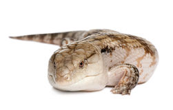 Blauw-tongued skink - Tiliqua Scincoides (7 jaar o Royalty-vrije Stock Afbeelding