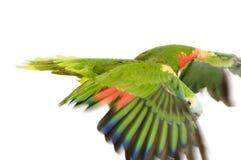 Blauw-uitgezien op Amazonië Royalty-vrije Stock Afbeelding