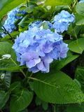 Blauw van de van het achtergrond bloemonduidelijke beeld de bloembeeld behanghydrangea hortensia stock afbeelding