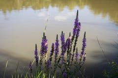 Blauw-violette bloemen die op de kust van een vijver groeien stock afbeelding