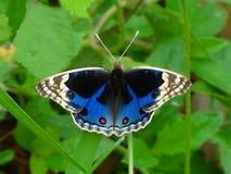 Blauw Viooltje royalty-vrije stock afbeeldingen