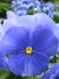 Blauw viooltje Stock Afbeeldingen