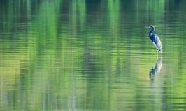 Blauw vogel groen water Royalty-vrije Stock Foto's