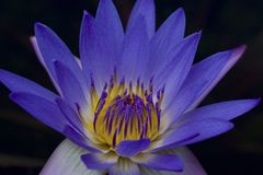 Blauw Water Lilly Stock Fotografie