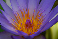 Blauw waterlilly Stock Fotografie