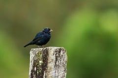 Blauw-zwarte Grassquit Royalty-vrije Stock Fotografie