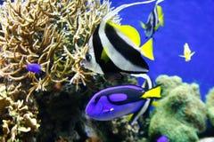 Blauw zweempje in water royalty-vrije stock afbeeldingen