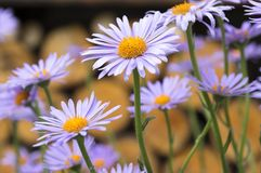Blauwachtige Aster, Astertongolensis in bloei royalty-vrije stock foto's
