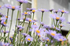Blauwachtige Aster, Astertongolensis in bloei stock fotografie