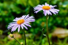 Blauwachtige Astertongolensis, familie Compositae Twee bloemen purper royalty-vrije stock fotografie